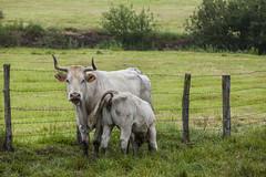 Jaunsarats (Oscar Berrueta) Tags: verde junio vacas navarra nieblas basaburua