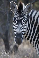 Plains Zebra (amy_quick_photo) Tags: africa photography african south safari zebra plains limpopo makalali