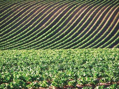 The field (jrsisson) Tags: life new nottingham uk england food brown green field lines rural countryside spring britain patterns ground growth soil dirt crops shoots leafs nottinghamshire furrowed jrsisson