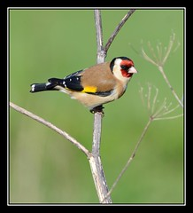 Goldfinch. (Carl Bovis Nature Photography) Tags: uk england bird nature goldfinch somerset levels rspb greylake springwatch somersetlevels carlbovisnaturephotography carlbovis