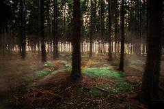 The fog (PixTuner) Tags: wood nature fog licht ast sonnenuntergang nebel forrest herbst natur grn braun blatt ste wald bltter bume baum moos tanne tannen dampf lichtstrahlen dster gest diesig lichtstrahl canon5dmarkiii pixtuner