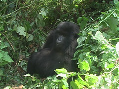 Gorilla Sitting in Volcanoes Park