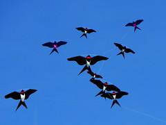 Schwalbenschwarm (wulfwalker) Tags: sky lumix himmel kites panasonic swallow hirondelle drachen fliegen cometa aquilone rondine schwalben cerfvolants golondrino