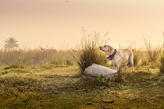 Lost in the world. (Arghyadeep Roy........) Tags: dog pet pets dogs photography labrador lacey petphotography