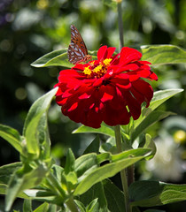 Fritillary butterfly on zinnia (Danielle_M_Bedics) Tags: red flower nature butterfly insect zinnia descansogardens