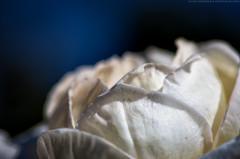 Flowers-12 (UnseenSight) Tags: california flowers roses white flower macro rose whiteflower sandiego pentax balboa rosegarden ricoh balboapark digitalphotography macrophotography asahipentax sandiegocalifornia pentaxk5