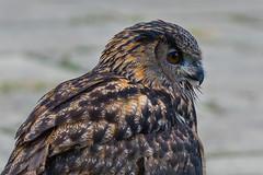 eagle owl profile (jimmy_racoon) Tags: 70200 f4l is canon 5d mk2 birds prey eurasian eagle owl wildlife nature raptor 70200f4lis canon5dmk2 birdsofprey eurasianeagleowl