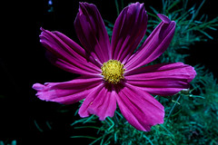 Cosmos on earth (My Photo Vision) Tags: cosmos bipinatus sonydscrx100 rx100 nature natuur natur