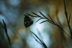 Shadows (Mathieu Calvet) Tags: pentax k3 fa100macro 100mm 100 macro proxy butterfly bokeh papillon mariposa demideuil midipyrnes occitanie nature pentaxart justpentax
