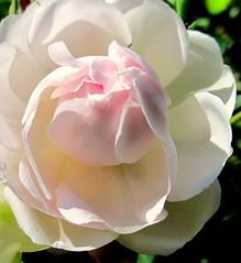 Une giboule.. et fleurissent les roses ! bises (Lana) Tags: