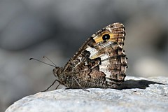 257-8.jpg (laba laba) Tags: butterfly insect macro closeupsamaria river gorge samariagorge crete greece nature park