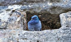 Carcassonne pigeon (laurent KB) Tags: pigeon oiseau carcassonne remparts aude
