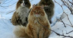 Three handsome norwegian cats out in the snow. via http://ift.tt/29KELz0 (dozhub) Tags: cat kitty kitten cute funny aww adorable cats