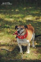 Dog with Bandanna (Hi-Fi Fotos) Tags: pup pooch bandanna neckerchief style cute canine park short shade nikon d5000 hififotos hallewell