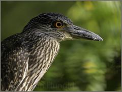 yellow-crowned night heron (Christian Hunold) Tags: bird philadelphia heron bokeh nightheron johnheinznwr yellowcrownednightheron wadingbird krabbenreiher christianhunold