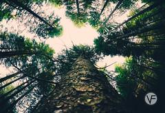 DSC_2720.jpg (francesco.vendemiati) Tags: alberi asiago bosco prospettiva wood fisheye nikon 105mm tree trees