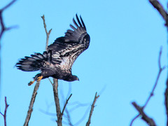 Bald eaglet in flight HDR 20160717 (Kenneth Cole Schneider) Tags: florida miramar westbrowardwca baldeaglenest pembrokepines