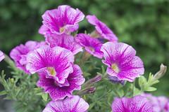 DSC01768-1 (Ripper2860) Tags: sony alpha6000 a6000 ilce6000 fotodiox ausjenapancolar5018 flowers blossoms blooms plant garden purple outdoor