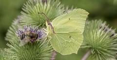 Le papillon citron  Gonepteryx rhamni (TAHARFR) Tags: papillon macro dreams nature life daydreams season plants colours park perfect profondeur de champ lepidopteres butterfly