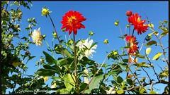Summer time in the Switzerland 2016 (Tamilpoems (Tamil kavithaigal)) Tags: summer flower nature schweiz switzerland google europe suisse geneva zurich blumen bern zrich glarus swissmountains mnnedorf zurichcity flowergardenbloomingflowers mnnedorfgemeinde
