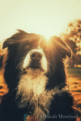 Mozie (micahmoreland) Tags: trees light sunset dog pet love nature beautiful smile animal sunrise happy amber eyes furry woods friend warm pretty heaven peace bright sweet vibrant sunny beast positive aussie australianshepherd exploration goldenhour