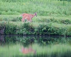 DSC_1017-1 (bjf41) Tags: deer whitetail fawn pond