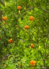 Lilies at last (Photosuze) Tags: lilies wildflowers humboldtlilies trees flora native california santaynezcanyon santamonicamountains