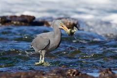 Catch /2 (Geoff Main) Tags: australia bird canon7dmarkii canonef300mmf28lisiiusm canonefextender20xiii easternreefegret nsw nswsouthcoast rockshelf sea easternreefheron nswsouthcoastaustraliabirdcanon7dmarkiicanonef300mmf28lisiiusmcanonefextender20xiiieasternreefegretmoruyaheadsnswnswsouthcoastpedropointrockshelfsea