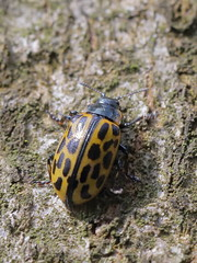 Chrysomela vigintipunctata (Chrysomelidae) (gbohne) Tags: canon closeup al arthropoda arthropods geo:region=europe geo:country=germany taxonomy:phylum=arthropoda taxonomy:subphylum=hexapoda insects insekten insect insekt insecta tier animal kfer beetles beetle taxonomy:class=insecta pterygota taxonomy:subclass=pterygota neoptera taxonomy:infraclass=neoptera coleoptera taxonomy:order=coleoptera taxonomy:suborder=polyphaga blattkfer taxonomy:infraorder=cucujiformia taxonomy:superfamily=chrysomeloidea taxonomy:family=chrysomelidae taxonomy:subfamily=chrysomelinae taxonomy:tribus=chrysomelini taxonomy:genus=chrysomela taxonomy:binomial=chrysomelavigintipunctata