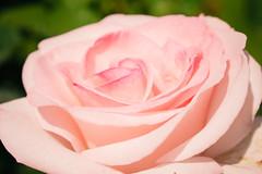 DSC_0684 (Azezra) Tags: rose roses flower flowers plant plants washington spokane garden macro bokeh pink nikon nikond3300 d3300