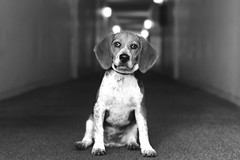 Toby 5 months (miriamhope) Tags: dog puppy beagle cute pet photography family love baby portrait