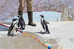 (htaylor27) Tags: penguins sprinkler toronto zoo wildlife nature birds ontario canada outdoor