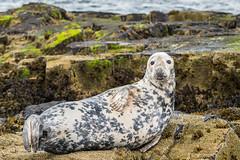 Grey Seal resting  D50_2450.jpg (Mobile Lynn) Tags: greyseal wild marinemammals seal nature fauna halichoerusgrypus mammal mammals wildlife farneislands northumberland england gb