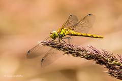 Common Darter - Female D50_3204.jpg (Mobile Lynn) Tags: nationaltrust commondarter wild insects wickenfennaturereserve dragonfly nature fauna wildlife wicken england unitedkingdom gb coth specanimal ngc npc coth5 sunrays5