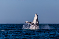 Humpback Breaching (robertdownie) Tags: sea water blue ocean animal splash jumping seascape wildlife whale pacific fin humpback breaching megaptera novaeangliae sky