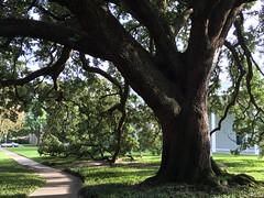 A majestic oak (Philosopher Queen) Tags: tree liveoak oak menilmuseum houston