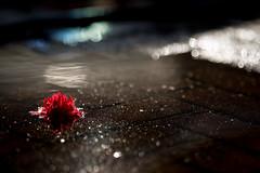 Watery Delights (jayneboo) Tags: light bokeh petals flower reflections sun 90mm fuji watery watering overflow
