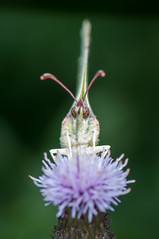 Common Brimstone (Harry Sterken) Tags: arthropod citroenvlinder geleedpotige gonepteryxrhamni insect macro pieridae witjes commonbrimstone butterfly