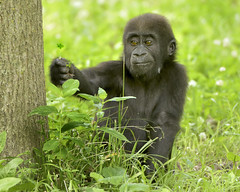 Looking for a 4-Leaf Clover (019561) (Mike S Perkins) Tags: kczoo masika gorilla baby infant clover curiosity green westernlowlandgorilla daughter ngc