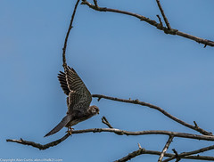 9Q6A7112 (2) (Alinbidford) Tags: alinbidford alancurtis brandonmarsh kingfisher greyheron heron kestrel