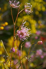 Delicate Flower (finwyal) Tags: australia westernaustralia kingspark pink yellow