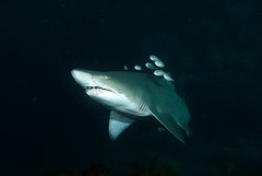 Grey nurse shark - Carcharias taurus (Marine Explorer) Tags: scuba nature marine underwater sharks marineexplorer
