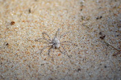 Camouflage (sim.garfunkel) Tags: camouflage spider sand macro juodkrante lithuania baltic states nikon d3200 noediting animal nature insect