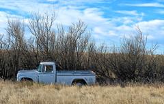 Old IHC Pickup (Sherlock77 (James)) Tags: saskatchewan truck pickup classic abandoned hedge