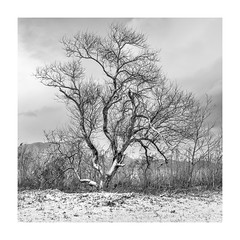 winter tree (StephenCairns) Tags: lakebiwa snow tree trees winter japan shiga january cold lake water age grace