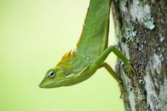 Bali Chameleon (EdBob) Tags: bali chameleon lizard nature animal belimbing asia asiantravel travel indonesia reptile eye eyeball green yellow edmundlowephotography edmundlowe exotic funny tree forest explore allmyphotographsare©copyrightedandallrightsreservednoneofthesephotosmaybereproducedandorusedinanyformofpublicationprintortheinternetwithoutmywrittenpermission