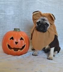Boo The Ewok Pug (DaPuglet) Tags: pug ewok pugs dog dogs puppy puppies pet pets animal animals costume halloween cute starwars star wars