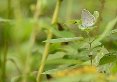 eastern-tailed blue butterfly (GreenRavenPhotography.com) Tags: easterntailedbluebutterfly wildlife animals nature lambton ontario pollinators sydenham river