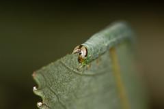 IDENTIFICATION HELP PLEASE! Sawfly larva feeding on willow (Salix sp.) head on (Ian Redding) Tags: british fauna hymenoptera nature salix symphyta tenthredinidae uk wildlife arthropod caterpillar green insect invertebrate larva leaf sallow sawfly tree willow