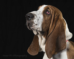 _DSC7153 credit (Sweet P's Photography by Winny Clum) Tags: dog animal pet basset hound